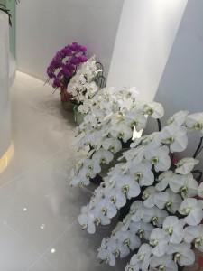 大きなキレイな胡蝶蘭。 天井まで届きます!!